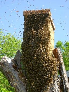 http://www.horizontalhive.com/honeybee-swarm-trap/bait-hive-how-to-catch.shtml