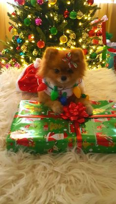 Marvelous Pomeranian Does Your Dog Measure Up and Does It Matter Characteristics. All About Pomeranian Does Your Dog Measure Up and Does It Matter Characteristics. Pomeranian Breed, Cute Pomeranian, Chihuahua, Pomeranians, Samoyed, Cute Puppies, Cute Dogs, Dogs And Puppies, Doggies