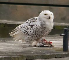 Snowy Owl Eating a Duck   Flickr - Photo Sharing!