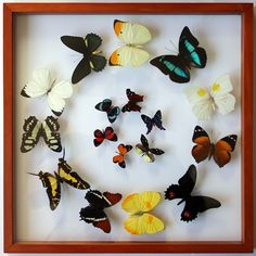 This real, mounted butterfly collection come with 17 framed tropical butterflies from the Peruvian Amazon rainforest. With free shipping, make shis a Fathers Day gift for Dad to hang up in his office and show off what his kids got him this year.    Cli Love, Love, Love!!