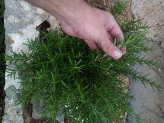 Hoy cultivamos tomillo en nuestro rincón de aromáticas