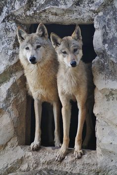 Tibetan Wolfs | Flickr - Photo Sharing!