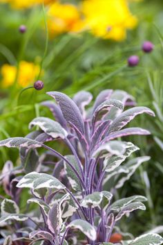 Sage (Salvia officinalis) 'Tricolor'. A winter essential, sage also provides year round colour, growing best in full sun.