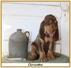 Clementine - a Bama/Emma Lynn bloodhound baby