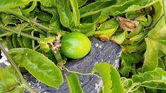 Clematis, Fruit, Vegetables, Flowers, Passion Flower, Lanzarote, Veggie Food, Vegetable Recipes, Royal Icing Flowers