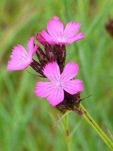 Dianthus carthusianorum - Karthäuser-Nelke, braucht wenig Wasser