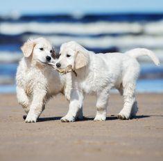 Pictures of white Golden Retrievers #goldenretriever