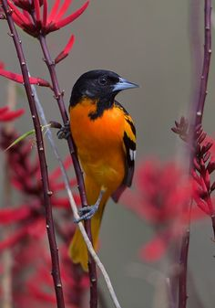"I was on the Texas coast and noticed a coral bean plant for the first time with some of its flowers removed. Knowing that orioles sometimes do this when feeding on flowers, I sat and waited, hoping that one would come back. I was right!"" (Photo by Birds & Blooms - Facebook- reader Dave Allen of Farmington, New Mexico.)"