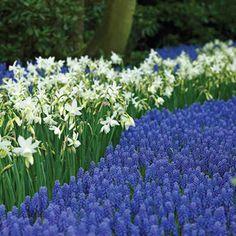 Martha Stewart Living Narcissus Thalia & Muscari armeniacum Dormant Bulbs - The Home Depot Growing Grapes, Spring Bulbs, Spring Landscape, Flower Shape, Garden Planning, Daffodils, Flower Pots, Perennials, Bloom