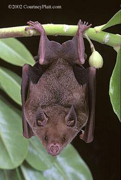 Antillean Nectar Bat (Brachyphylla nana nana)