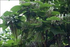 Катальпа, макаронное дерево