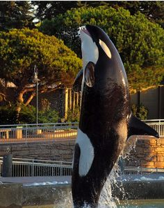 Corky in SeaWorld San Diego. © .Sarah.Louise
