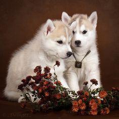 Little Huskies by DeingeL-Dog-Stock.deviantart.com