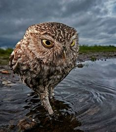 . Photo by @austinthomasphotography . A wild Little Owl walking through a pool of water… #Water #Stormy #Sky #Eye #Wildlife #owl