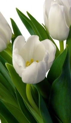 Beautiful Flowers Photos, Flower Photos, Amazing Flowers, My Flower, Pretty Flowers, Flower Power, White Tulips, White Flowers, Botanical Drawings