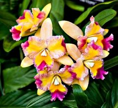 Multicolored Orchids