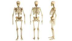 huesos-cuerpo-humano.jpg (620×350)