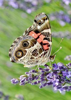 """American Lady Butterfly / """"Temos de nos preparar antecipadamente para as várias transformações do amor ao longo da vida. A maneira como amas aos vinte ou trinta é diferente de quando tens quarenta ou cinquenta, mas se investiste, vais ter o retorno.""""  (F.Faria)"""