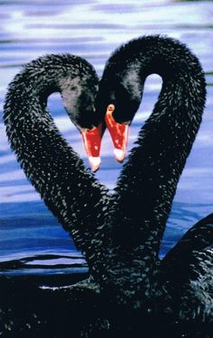 Black Swans - Swan heart in Melbourne Australia.