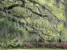 Live Oak Tree Draped with Spanish Moss, Savannah, Georgia, USA Photographic Print by Adam Jones at Art.com