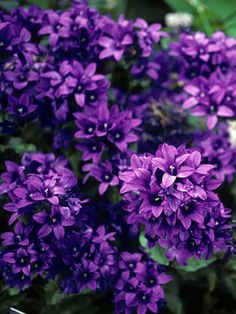 "Campanula Superba (Clustered Bellflower) Perennials, Wet site tolerant Height: Medium 18-20"" (Plant 14"" apart) Bloom Time: Late Spring to Summer Full Sun to Half Sun/ Half Shade Zones: 3-8 Soil Condition: Normal, Clay -"