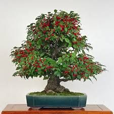 bonsai - Cerca con Google