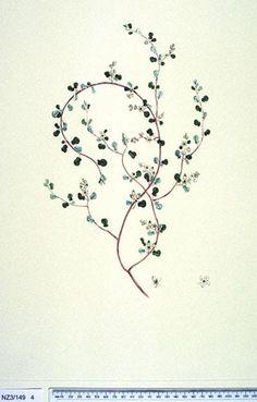 Muehlenbeckia Complexa -- New Zealand  -  Curtis's bot. Mag. 49: t. 2350 [1822].  The Endeavour botanical illustrations - artist Edward Walker