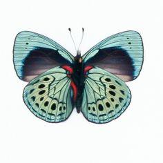 Charles Darwin framed butterfly