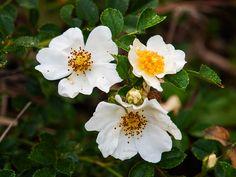 Rosier de Wichura, Rosa wichuraiana