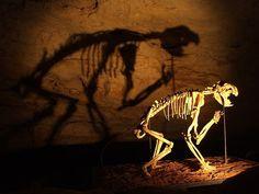 Marsupial lion skeleton in Naracoorte Caves, South Australia. Image: Public Domain