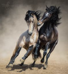 Buy Red-gray Spanish stallion play with dun Spanish stallion by tristana on PhotoDune. Red-gray Spanish stallion play with dun Spanish stallion in sand dust. All The Pretty Horses, Beautiful Horses, Animals Beautiful, Andalusian Horse, Appaloosa Horses, Animals And Pets, Cute Animals, Photo Animaliere, All About Horses