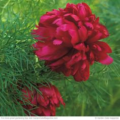3 unique spring blooms: These 3 perennials provide unique color and interest throughout spring. Paeonia Tenuifolia, Peonies Garden, Spring Blooms, Garden Gates, Ruby Red, Unique Colors, Wildflowers, Fern, Garden Plants