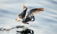 A juvenile gull grabs a fish