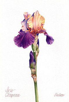 Iris, Chapeau by MARY ANN NEILSON Watercolor ~ 9 x 6