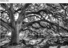 Texas A & M University Aggies. The Century Oak, located in the heart of  campus,