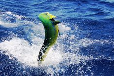 Summer time offshore fishing here in Virginia Beach is a great time of year to target many of the more popular gamefish. But one such gamefish seems to stand out. Sport Fishing, Fly Fishing, Offshore Fishing, Fishing Charters, Mahi Mahi, Dolphins, Mammals, Summer Time, Tours