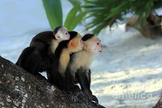 Monkey Family by Sophie Vigneault