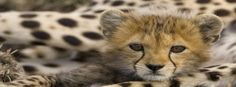 Baby Cheetah Facebook Covers   www.TimelineCovers.pro