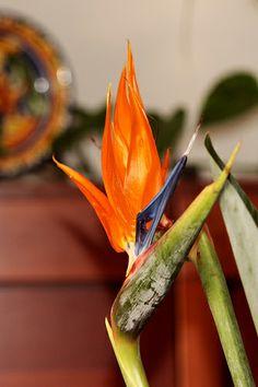 Strelitzia reginae - looks like bird with a crest-  Ancona,Marche,Italy - Sterlizia Photo by Gianni Del Bufalo