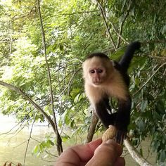 We took a picture of this little fellow during last sunday's Jungle Canal Day Tour. Capuchin monkeys are always photogenic :-)