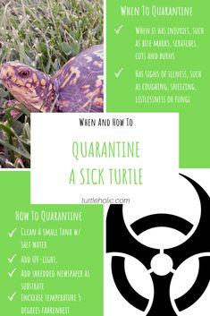 If you have a sick, injured or new turtle, it may be best that you dry-dock or isolate it for a period of time. Here is how to safely quarantine a turtle. Turtle Care, Pet Turtle, Salt And Water, Turtles, Sick, Period, Pets, Tortoises, Turtle