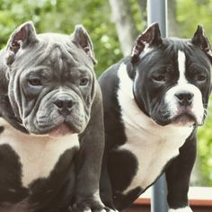 Pit Bulls and Staffordshire Terriers #BullyDogNation