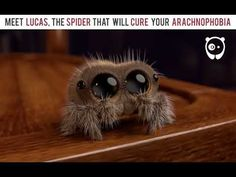 14 Best Lucas The Spider Images Lucas The Spider Spider Lucas