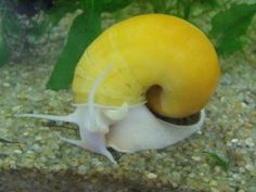 Golden Apple Snail will help cleaning your tank. Aquarium Snails, Apple Snail, Golden Apple, Fish Care, Freshwater Aquarium Fish, Pet Fish, Tropical Fish, Colorful Fish, Goldfish