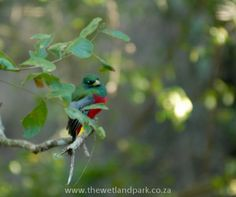 The elusive Narina Trogon has become a regular visitor to Umkhumbi Lodge (by visitor I mean torturer: he is driving us crazy when we can't see him, but we can hear him calling! African Safari, South Africa, Birds, Animals, Animales, Animaux, Bird, Animal, Animais