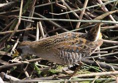 Descoberta de verdadeira ave rara na margem do Arade em Silves atrai birdwatchers de toda a Europa   Sul Informação