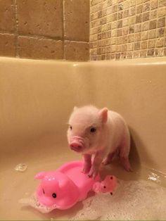 Just Cute Pigs.