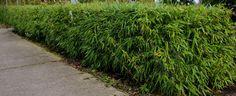 Fargesia 'Rufa' kan ook gesnoeid worden tot een strakke haag, maar men moet rekening houden met het groeipatroon.   bamboehagen bamboekwekerij Kimmei Valkenswaard