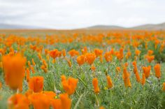 Antelope Valley Poppy Reserve and Poppy Fields - Travel - Los Angeles, California - Things to Do