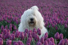 https://flic.kr/p/Gh9Yt9 | spring time is here again... | old English sheepdog  Sophie